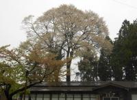 神社桜JPG.JPG